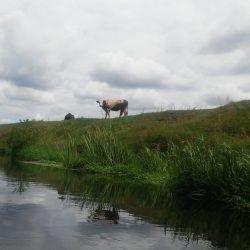 Widok na krowę z rzeki